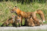 Red Fox with 5 Kits