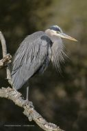 Great Blue Heron on Branch