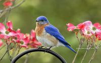 Eastern Bluebird on Dogwood